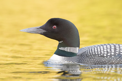 #1269 Common Loon