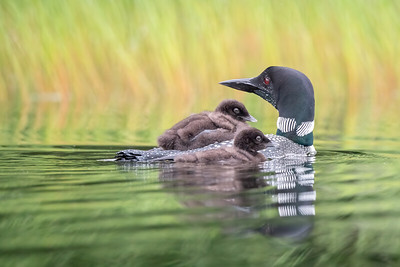 #1472 Common Loon and Her Chicks