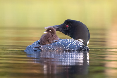 #1687 Common Loon and Chick