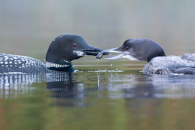 #1301 Common Loon and Chick