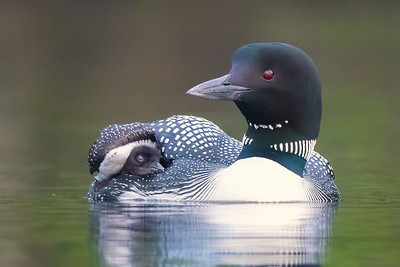#1746 Common Loon and 5-day old Chick