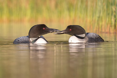 #1722 Common Loons