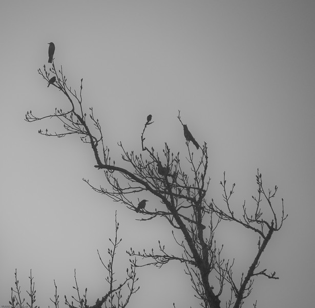 Blackbirds in early morning fog.