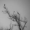 Blackbirds in early morning fog.