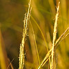 Hobcaw Marsh Grass
