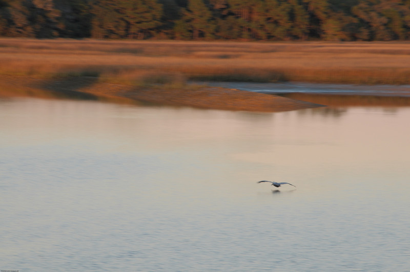 Folly marsh at sunset with pelican