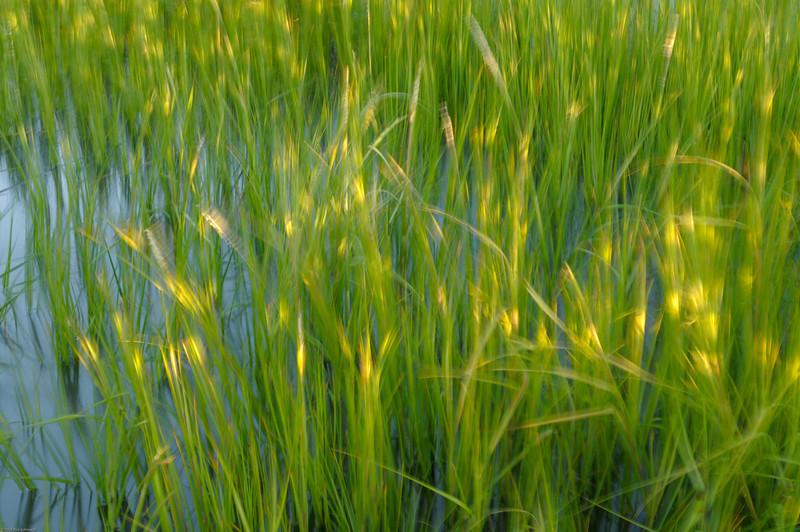Sunlit Hobcaw Marsh Grass