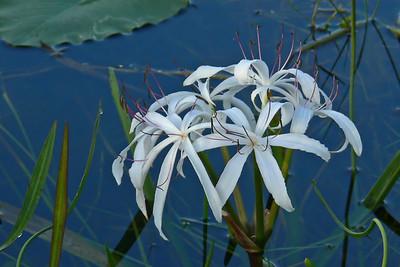 String Lilies (Flora & Macro)