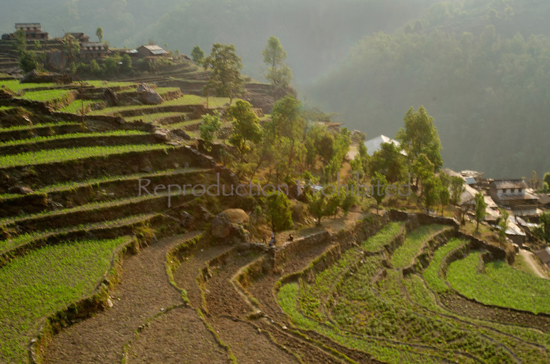 Terraced Hillside Along the trail to Ghandruk Annapurna Conservation Area, Nepal