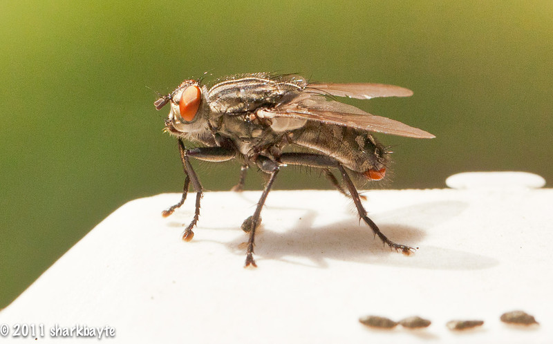 June 21, 2011-This is a Flesh fly; Genus Sarcophaga. The adults usually feed on nectar, fruit juices, sap and honeydew. They are found near decaying materials, carcasses, and dung (as seen here). They don't bite. And they are helpful with forensic entomology. They are one of the first arrive on a dead carcass, so investigators can determine time of death. I first thought this was a common housefly, but its red eyes and gray stripes gave it away. Thank you for all the comments on my moon shot, I truly appreciate each one. (Day 172:365 @sharkbayte).