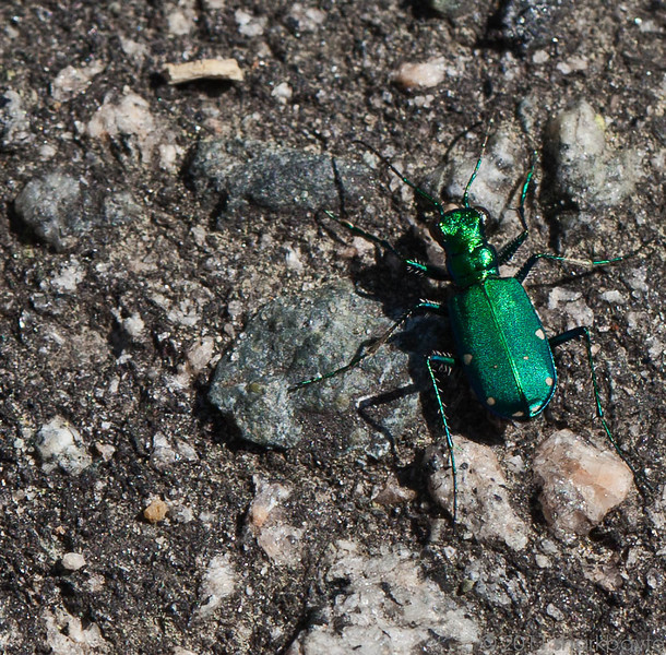 April 11, 2011-This is a six spotted tiger beetle (Cicendela sexguttata). I found him flying low to the ground; while the sun was hitting him the colors were dazzling. (Day 101:365 @sharkbayte)