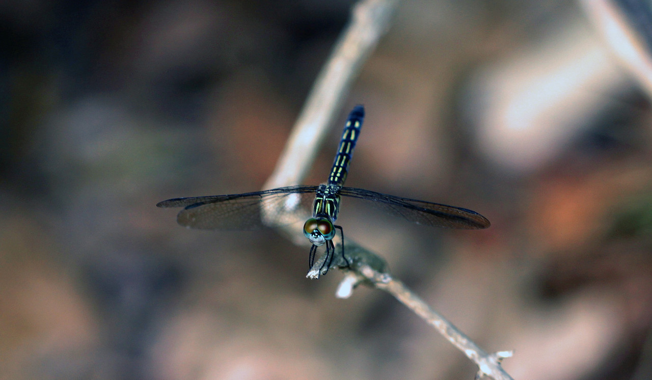 Day 179/356-My First Dragon Fly capture. And a disappointment.  As I was trying to set up my shot, my shirt sleeve caught the joystick on my wheelchair and sent me speeding towards him. This seems to spook a lot of creatures, my self included. LOL! #365project-settings: 100.0m f/2.8 1/15s ISO: 200