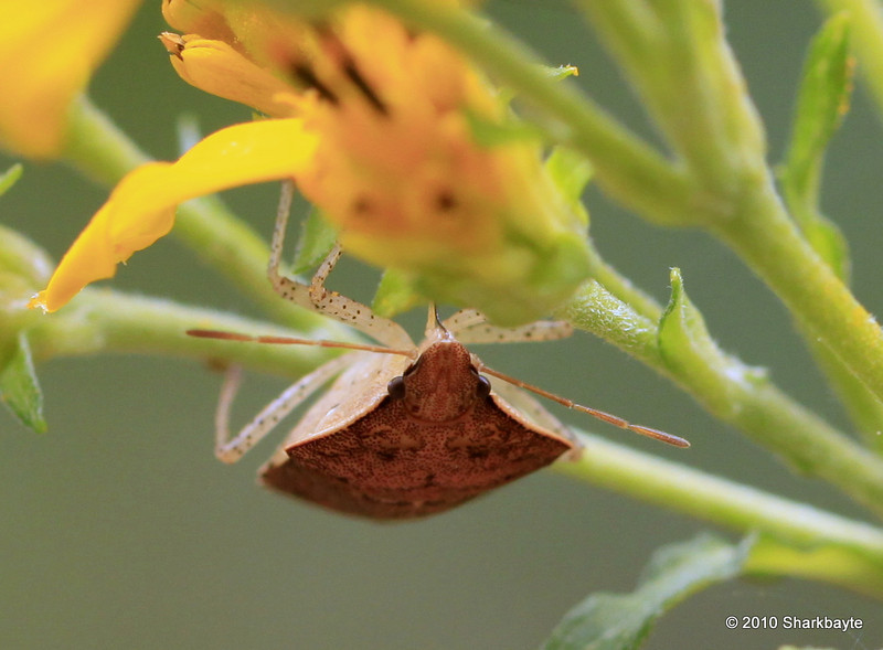I believe this is a Speckled-legged Stink Bug - Euschistus conspersus - or brown stink bug. #365Project Day 260 (2010.09.17) @sharkbayte