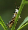 Side view of a very tiny grasshopper