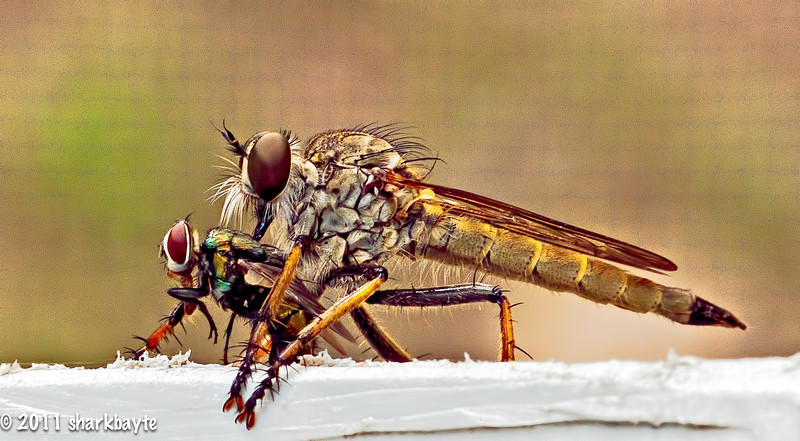 JULY 12, 2011-Found this Robber Fly with his dinner on the lattice work. For the first time I tried tone mapping, so I am not sure if I over processed it or not, just thought it looked kinda cool. (193:365)