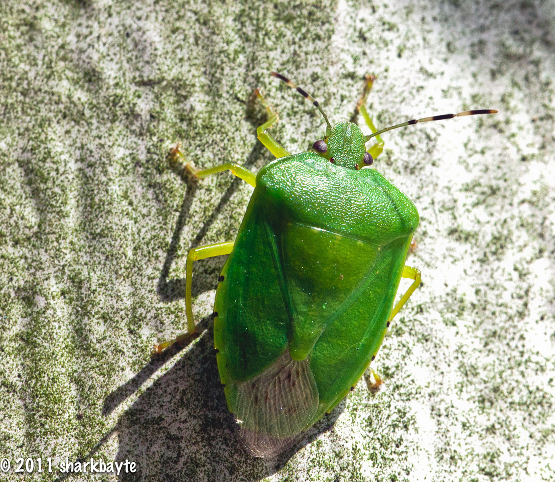 June 9, 2011- This is a Southern Green Stink Bug - Nezara viridula. Found him crawling up my neighbors house. It was very hot and humid,  so I headed indoors after this shot. (Day 160:365 @sharkbayte).