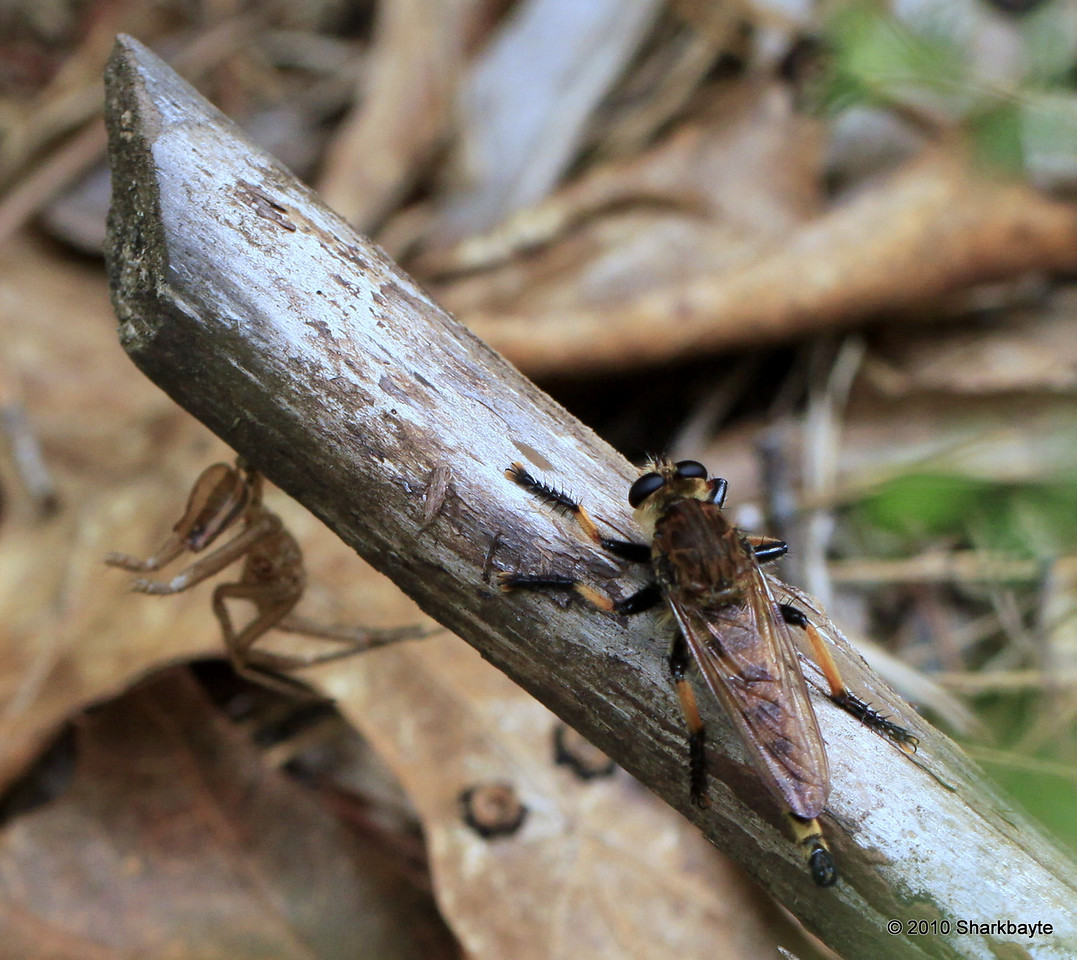 Robber Fly with some exoskeleton (If anyone knows it's id I would apprecaite it).