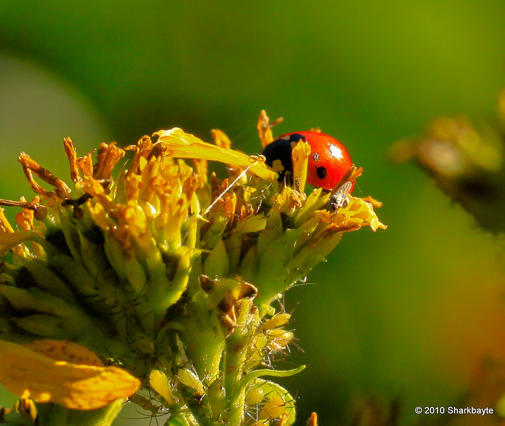 This flower has a load of visitors, aphids, fly and the Lady Bug. I believe this is a sevemn-spotted Lady Beetle Coccinella septempunctata.