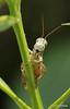 Jiminy Cricket (well actually a grasshopper)