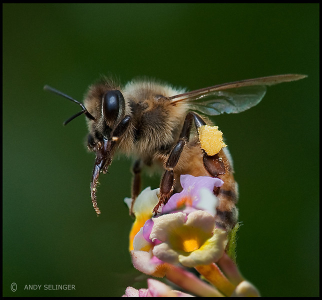 A bee is getting pollen from a lantana flower