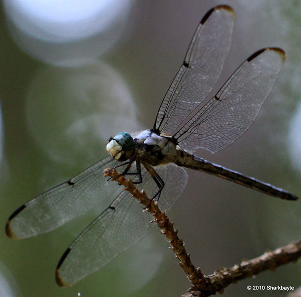 Day 203 #365Project-It's the Blue Dasher (Pachydiplax longipennis) a skimmer. If you enlarge this you can see the bristles or little hairs on his head and neck. He was above my head so this is actually from the bottom side view. Settings: 100.0mm f/2.8 1/200s ISO:200 @sharkbayte