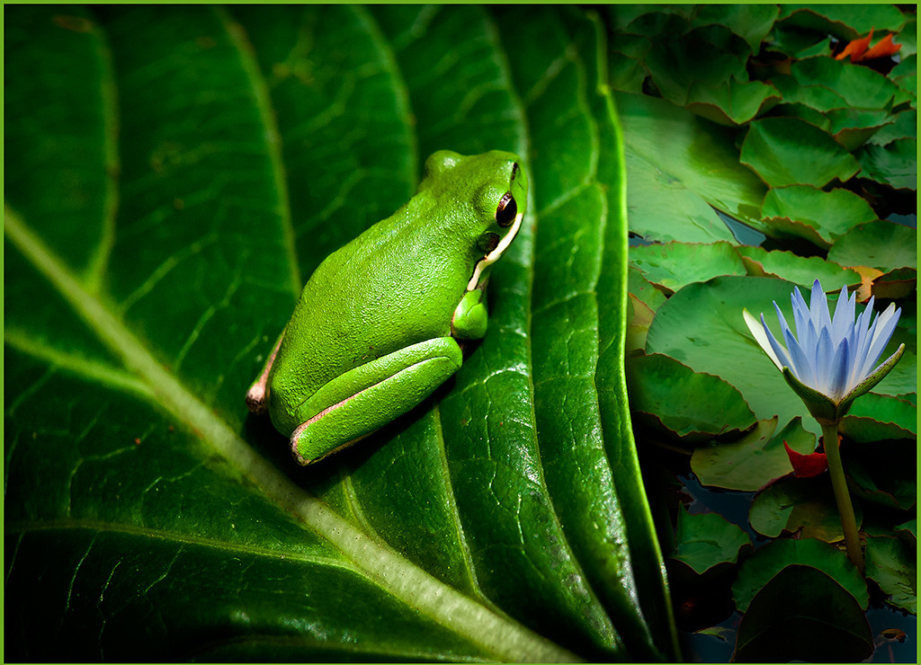 A green frog on a leaf overlooking a lilly pond.