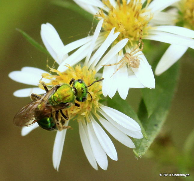 This is a Green Iridescent Sweat Bee I believe it to be species-Agapostemon tribe-Augochlorini and a crab spider in the background. #365Project Day 301 (2010.10.28) @sharkbayte<br /> <br /> Thank you for all the comments yesterday on my Jumping Spider!!