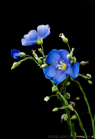 Flax Blooming 2