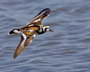 Ruddy Turnstone in breeding plumage - Doug Bolt.<br /> Place holder for images from the 2008 MOS Annal Conference, Photography Class.