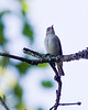 Red-eyed Vireo taken with 1DM2 and 400 lens.  Note grain and loss of detail due to ~ 2 stop underexposure.