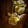Painted White Orchid on Brown