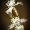 White Iris on Black