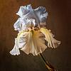 Sunlit White Iris