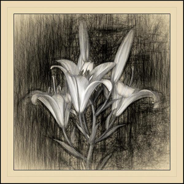Stargazer Lily Sketch #2