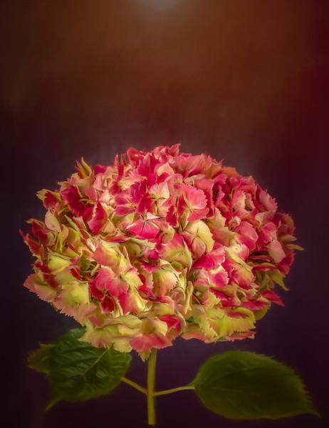 Hydrangea in Fall Color