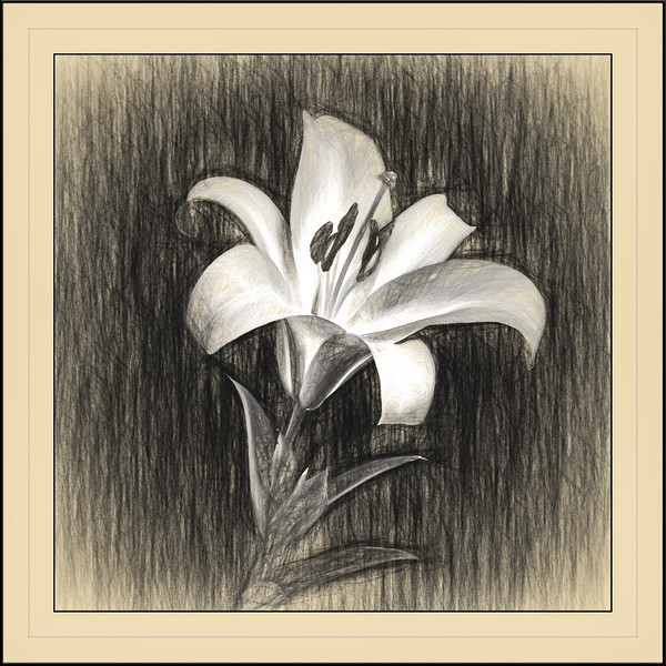 Stargazer Lily Sketch #1