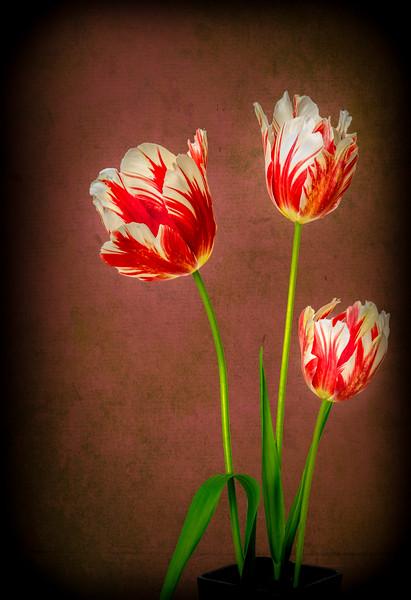 Spring Tulips  Trio