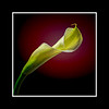 Backlit Calla Lily Single