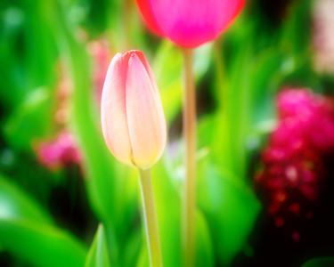 Spring is Tulip