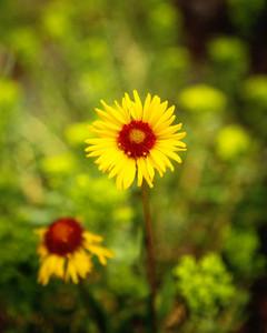 Wild Flower in the Rockies
