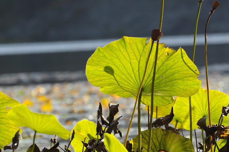 Lotus Flower Leaves