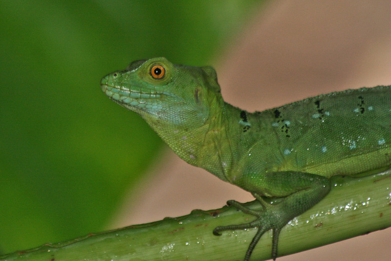 Green Spiny Lizard, Costa Rica
