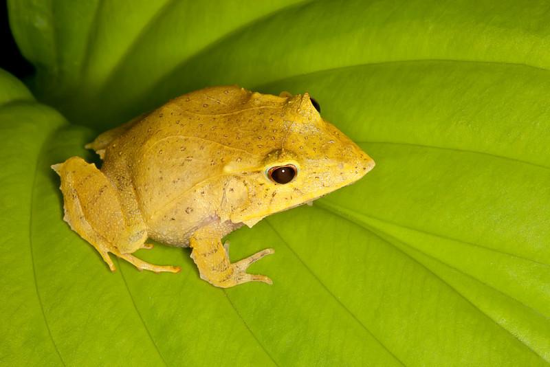 Solomon Isle Leaf Frog