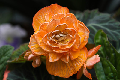 Orange colored Rose