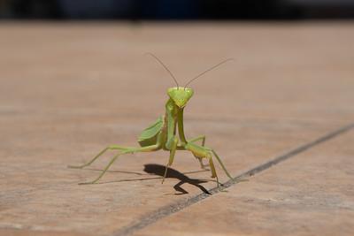 Mantis in Greece