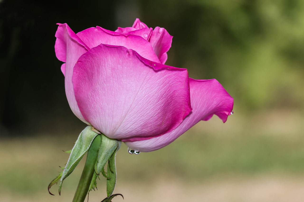 Rose with water droplets