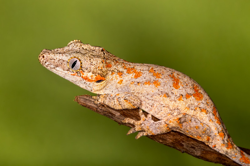 Orange Spotted Gargoyle Gecko