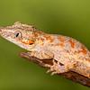 Orange Spotted Gargoyle Gecko