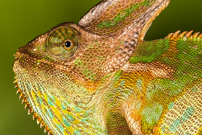 Male Veied Chameleon