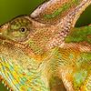 Male Veied Chameleon